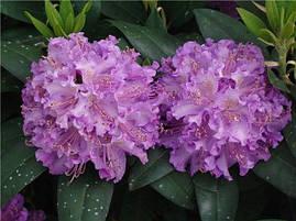 Рододендрон гібридний Alfred 2 річний, Рододендрон гибридный Альфред, Rhododendron Alfred, фото 3