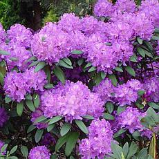Рододендрон гібридний Alfred 2 річний, Рододендрон гибридный Альфред, Rhododendron Alfred, фото 2