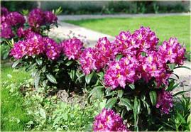 Рододендрон гібридний Libretto 2 річний, Рододендрон гибридный Либретто, Rhododendron Libretto, фото 3