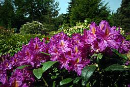 Рододендрон гібридний Libretto 2 річний, Рододендрон гибридный Либретто, Rhododendron Libretto, фото 2