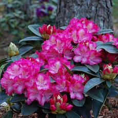 Рододендрон гібридний Sternzauber 2 річний, Рододендрон гибридный Стернзубер, Rhododendron Sternzauber, фото 3