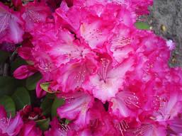 Рододендрон гібридний Sternzauber 2 річний, Рододендрон гибридный Стернзубер, Rhododendron Sternzauber, фото 2