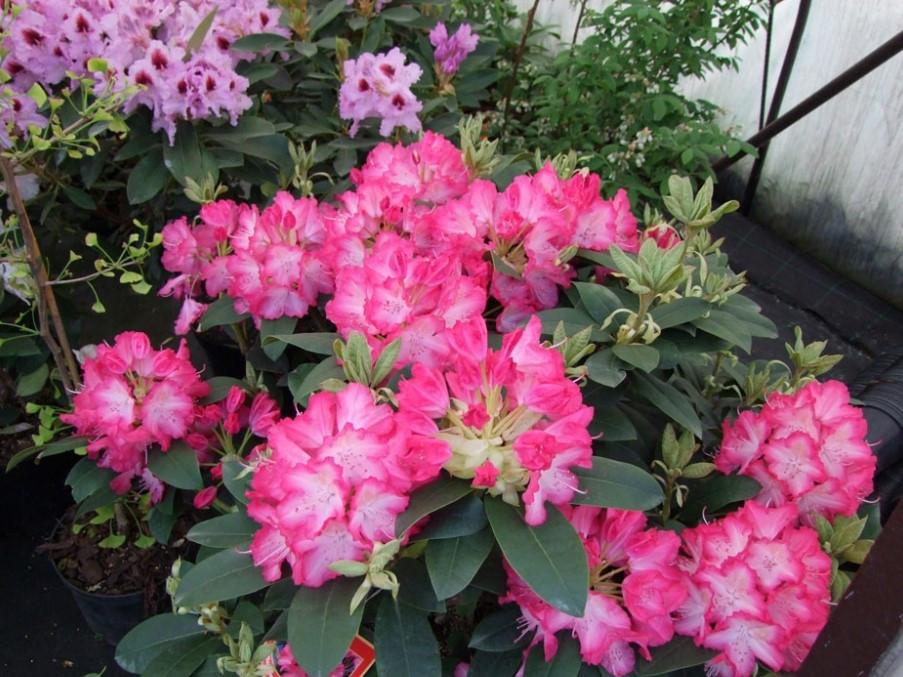 Рододендрон гібридний Sternzauber 2 річний, Рододендрон гибридный Стернзубер, Rhododendron Sternzauber