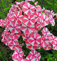 Флокс метельчатый Peppermint Twist, фото 1