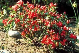Азалія японська Signalgluhen 3 річна, Азалия японская Сигналглюхен, Azalea japonica Signalgluhen, фото 2