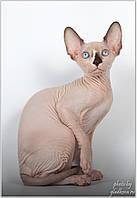 Продажа котят Канадского сфинкса различных окрасов из питомника