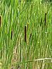 РОГОЗ УЗКОЛИСТНЫЙ, ВЗРОСЛЫЙ КУСТ (ДЕЛЕНКА) с голыми корнями