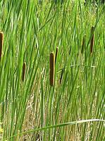 РОГОЗ УЗКОЛИСТНЫЙ, КОМПЛЕКТ ИЗ 5 ШТ. с голыми корнями / РОГІЗ ВУЗЬКОЛИСТИЙ, КОМПЛЕКТ 5 ШТ. із голим корінням, фото 1