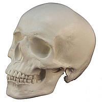Череп человека анатомический з гіпсу, білого кольору, натурального анатомічного розміру, реквізит