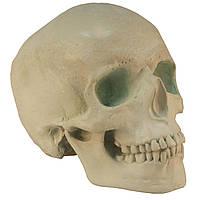 Череп людини, модель з гіпсу, зелений пастельний тон, натурального анатомічного розміру, для декорування, фото 1