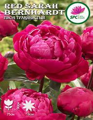 Пион травянистый Red Sarah Bernhardt
