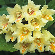 Вейгела Міддендорфа 2 річна, Вейгела цветущая Миддендорфа, Weigela florida middendorffiana , фото 3