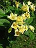 Вейгела Міддендорфа 2 річна, Вейгела цветущая Миддендорфа, Weigela florida middendorffiana , фото 2