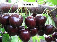 Саженцы плодовых Уголёк саженцы черешни