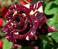 Чайно-гибридные розы сорта Абракадабра
