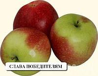 Слава победителям саженцы плодовых - яблони