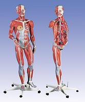 Двуполая модель с мышцами люкс, 45 частей.