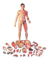 Фигура человека 3b Scientific ® в полный рост, 2-половая, строение мускул., азиатск.тип, 39 частей.