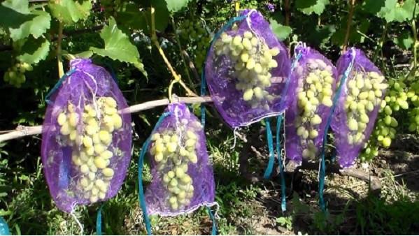 мешочки для защиты винограда