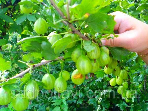 Саженцы крыжовника Зеленый дождь в конт.1л, фото 2