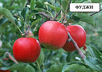 Фуджи саженцы яблони и другие саженцы плодовых