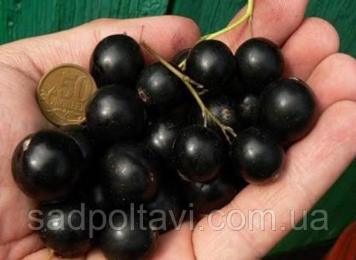 Саженцы черной смородины Ядреная в горшках, фото 2