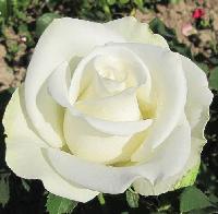 Роза Белуга (Однолетний, ОКС)