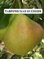 Саженцы груши Таврическая- груша тает во рту,саженцы плодовых