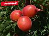 Саженцы абрикоса ПРИЦИЯ сверх раннего срока созревания (двухлетний)