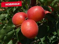 Саженцы абрикоса ПРИЦИЯ сверх раннего срока созревания (двухлетний), фото 1