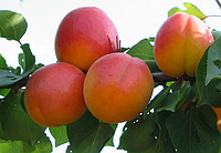 Саджанці абрикоса ФАРДАО пізнього терміну дозрівання ( дворічний)