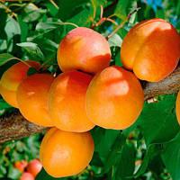 Саджанці абрикоса ФАРКЛО пізнього терміну дозрівання ( дворічний)