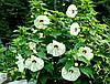 Гібіскус трав'янистий Old Yella 2 річний, Гибискус травянистый Олд Елла, Hibiscus moscheutos Old Yella, фото 2