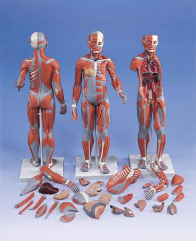 Двуполая фигура с мышцами и внутренними органами, 33 части.