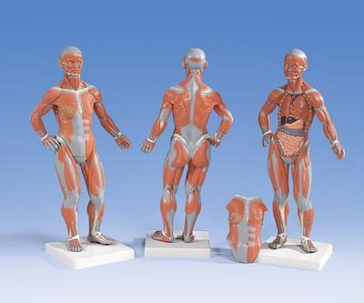 Женская фигура с мышцами, 1/4 натуральной величины, 2 части.