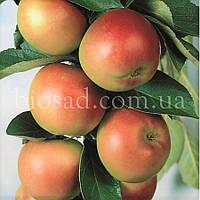 Яблоня колонновидная ГОТИКА