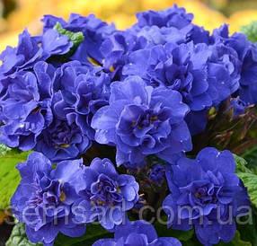 """Примула балерина махровая """" Кобальт Блю """" \  Primula Cobalt Blue ( садовая-саженцы)"""
