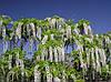 Гліцинія Shiro-noda 3 річна(привита), Глициния обильноцветущая Shiro-noda, Wisteria floribunda Shiro-noda, фото 3