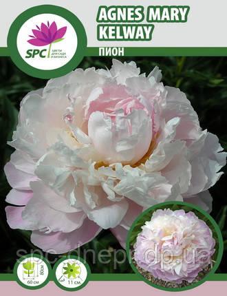 Пион травянистый Agnes Mary Kelway