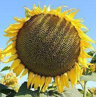 Гібрид соняшнику Хайсан 158 ІТ
