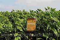 Семена подсолнечника Рона под гранстар.Гранстароустойчевый 50грм/га