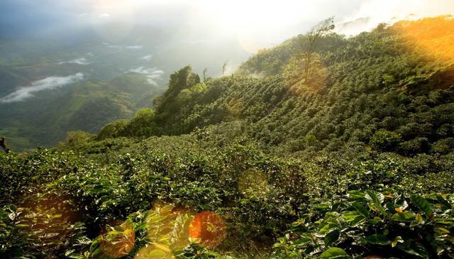 выращивание натуральной арабики в Гватемале, качественный кофе