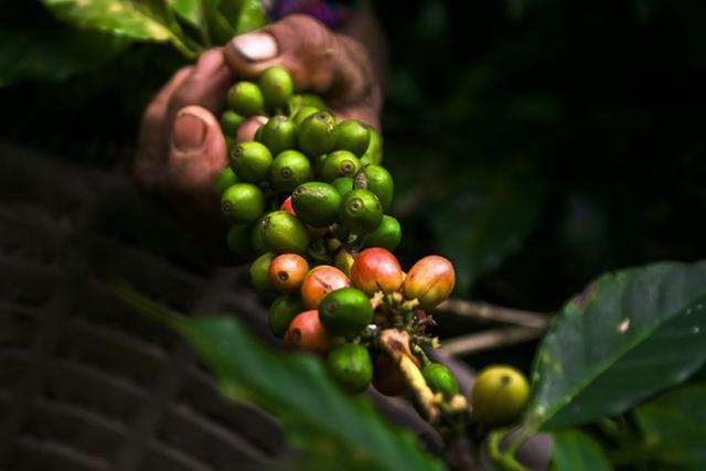 Кофе арабика Никарагуа Марагоджип в зернах свежеобжаренный