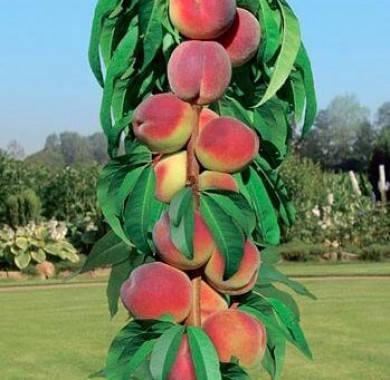 Колоновидный персик Сувенир, фото 2