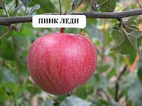 Пинк Леди саженцы яблони и другие саженцы плодовых