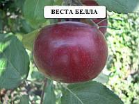 Саженцы плодовых Яблоня летняя Веста Белла созревает к спасу