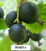 Йошта саженцы плодовых