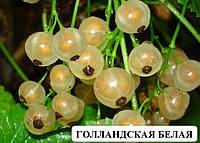 Смородина саженцы сорт Голландская белая саженцы плодовых