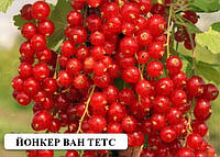 Красная смородина саженцы сорт Йонкер Ван Тетс саженцы плодовых