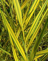 Очерет австралійський Variegatus (Варієгата), фото 1